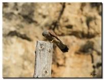 Falco tinniculus