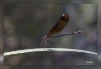 Calopteryx haemorroidalis