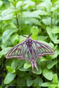Graellsia-isabellae