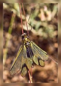 Libelloides hispanicus