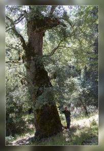 Quercus petraea,Quejigo