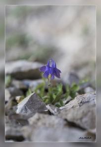 Aquilegia_pyrenaica_subsp._cazorlensis