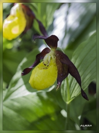 Cypripedium_calceolus