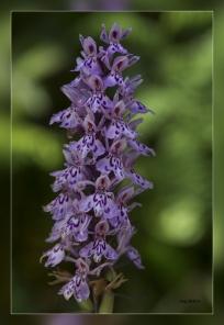 Dactylorhiza_fuchsii