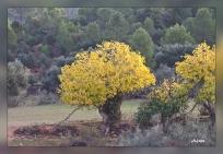 Ficus carica.Arroyo Montero