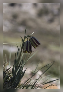 Fritillaria_hispanica