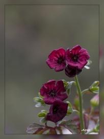 Geranium cataractarum