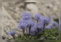 Jasione_crispa_subsp.segurensis