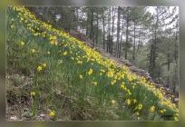 Narcissus longispathus, Clavelón