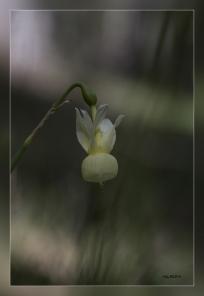 Narcissus_pallidulus