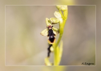 Ophrys-subinsectifera