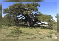 Pinus nigra,subsp,salzmannii