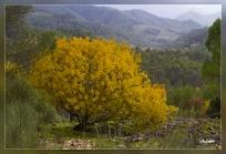 Pistacea_terebinthus. Cornita,Cornicabra
