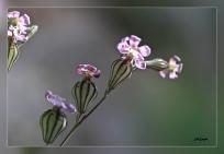 Silene_secundiflora