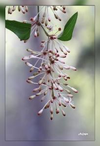 Smilax aspera
