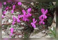 Viola_cazorlensis