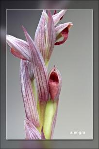 serapias-parviflora