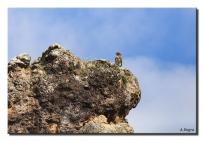 Circaetus gallicus