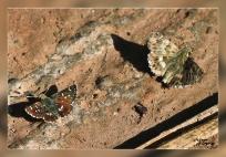 Carcharodus baeticus &Spialia sertorius