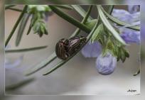 Chrysomela americana
