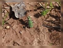 Cicindela maroccana