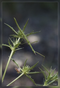 Leptynia hispanica