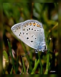 Polyommatus amandus