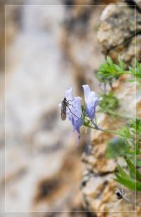 1_Linaria-verticillata