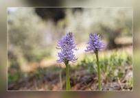 1_Orchis-italica