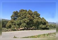 Quercus ilex.Culla