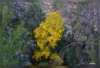Acer granatensis.Arroyo Montero
