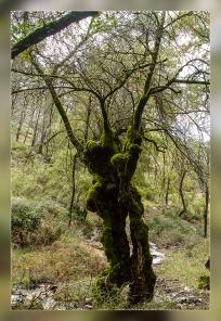 Fraxinus sp. Huerta Vieja