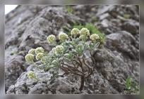 Hormatophylla_reverchonii