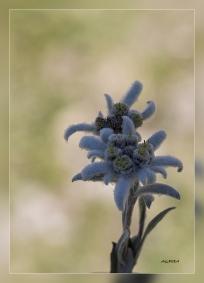 Leontopodium_alpinum