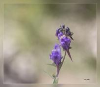 Linaria_verticillata_subsp._lilacina
