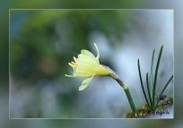 Narcissus-hedraeanthus