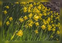 Narcissus longispathus
