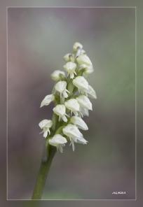 Neotinea_maculata