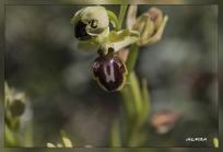 Ophrys_sphegodes