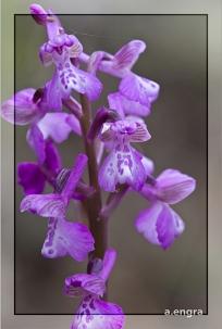 Orchis-morio