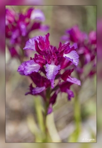Orchis-papilonacea.