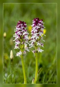 Orchis-ustulata