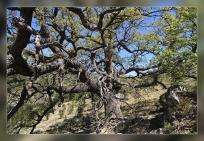 Quercus petraea.Ares del Maestre