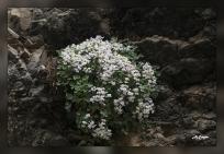 Sarcocapnos_enneaphylla
