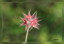 Trifolium_stellatum