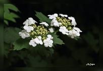 Viburnum opalus